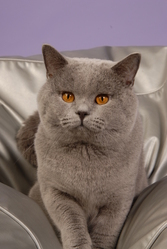 Casper, chat British Shorthair