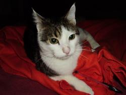 Casper, chat Européen