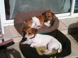 Casper, chien Jack Russell Terrier