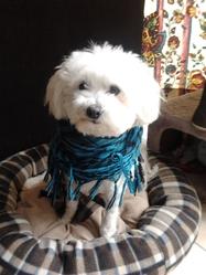 Casper, chien Bichon maltais