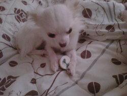 Casper, chien Chihuahua
