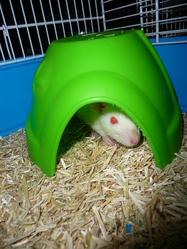 Caspule, rongeur Rat
