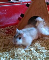 Casse Croûte, rongeur Hamster