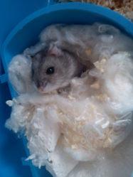Casse-Croûte, rongeur Hamster