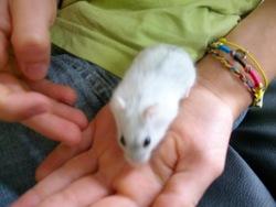 Casse-Noisette, rongeur Hamster