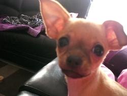 Cassie, chien Chihuahua