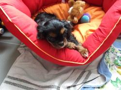 Cassie, chien Cavalier King Charles Spaniel