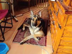Cassie, chien Berger allemand