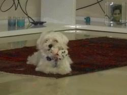 Cassie, chien Bichon maltais