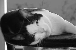 Cassiopée, chat Européen