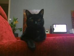 Cassiopée, chat Gouttière