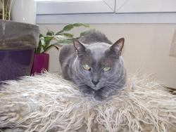 Cassiore, chat Bleu russe