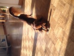 Cassis, chien Teckel