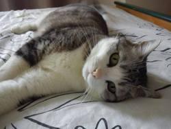 Cassis, chat Européen