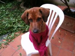 Cassis, chien Rhodesian Ridgeback