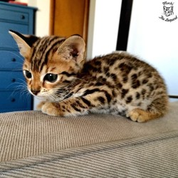 Cassis, chaton Bengal