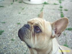 Cassius, chien Bouledogue français