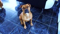 Cassius Du Paradis Quercinois, chien American Staffordshire Terrier