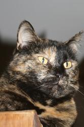 Cassonade, chat Européen