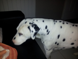Cassus, chien Dalmatien