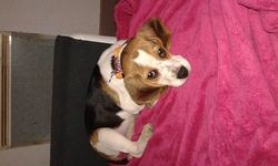 Cassy, chien Beagle