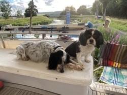 Cassy, chien Cavalier King Charles Spaniel