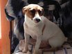 Cassy, chien Jack Russell Terrier