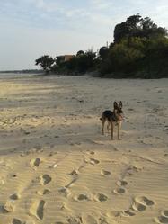 Castèle, chien Berger allemand