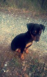 Castelle, chien
