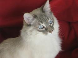 Castille, chat Européen