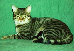 Castor, chat Européen