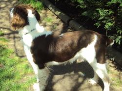 Castor, chien Welsh Springer Spaniel