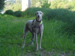Cata, chien Lévrier espagnol