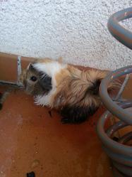 Catalina, rongeur Cochon d'Inde