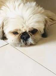 Cathy, chien Pékinois