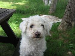 Cathy, chien Bichon à poil frisé