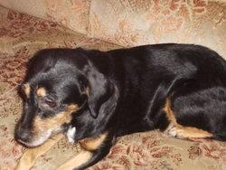 Cathy, chien Pinscher