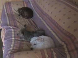 Cathy, chien Caniche