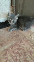 Cathy Adoptée, chat Européen