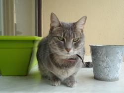 Catus, chat Européen