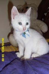 Caty, chat Angora turc