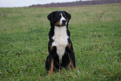 Cause Toujours Dit Crunch, chien Bouvier d'Appenzell