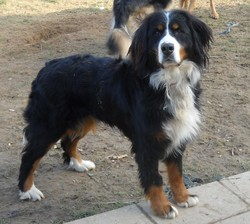 Cavalle, chien Bouvier bernois