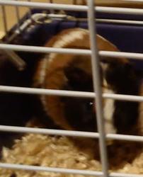 Cavy, rongeur Cochon d'Inde