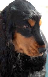 Cayenne, chien Cocker anglais
