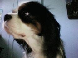 Cayenne, chien Cavalier King Charles Spaniel