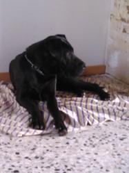 Cayenne, chien Dogue allemand