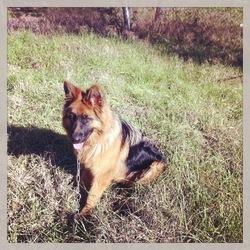 Cayenne , chien Berger allemand