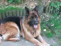 Cayenne, chien Berger allemand