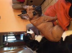 Cayenne, chien Bouledogue français